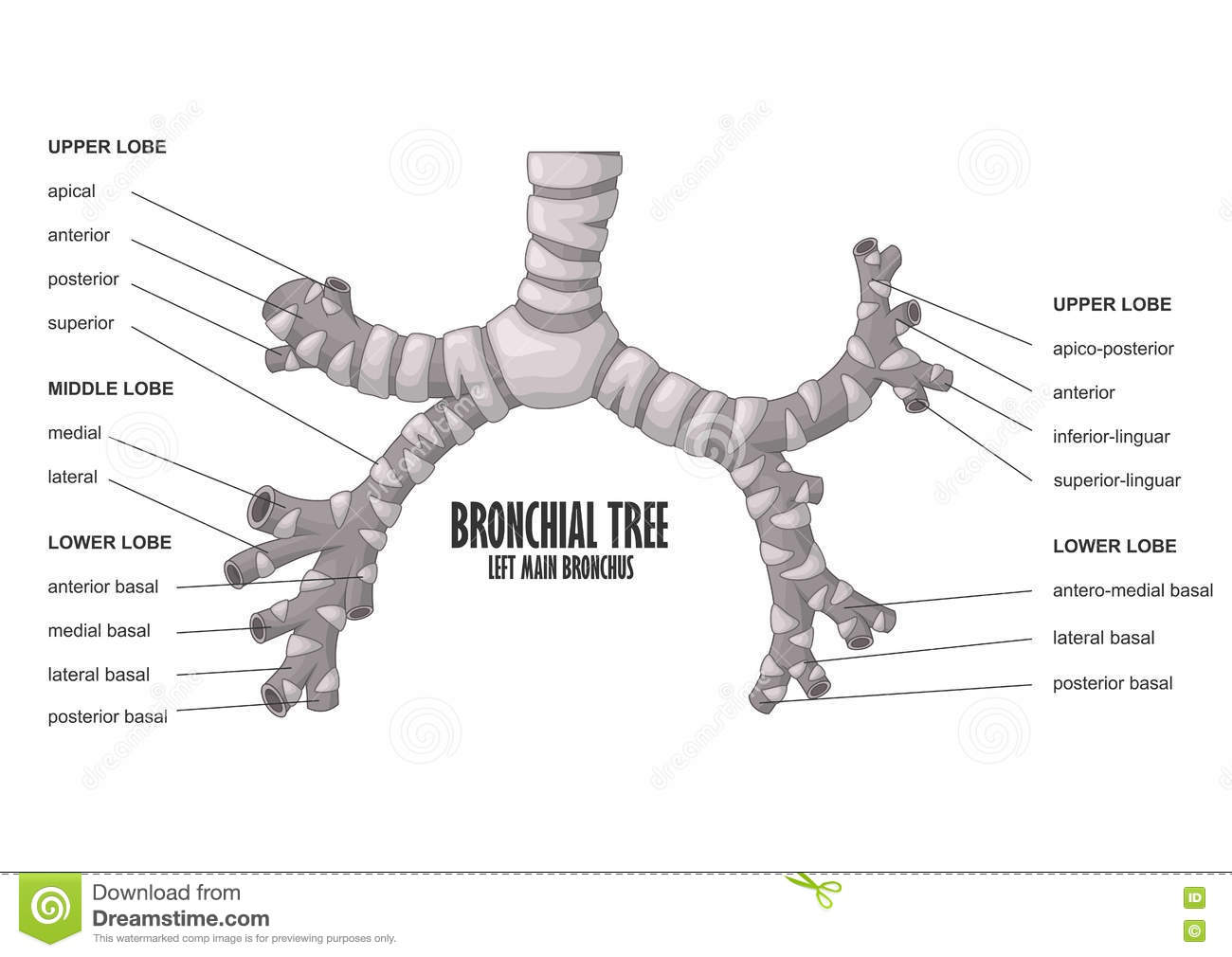 Bronchial Tree Left Main Bronchus Human Anatomy Stock