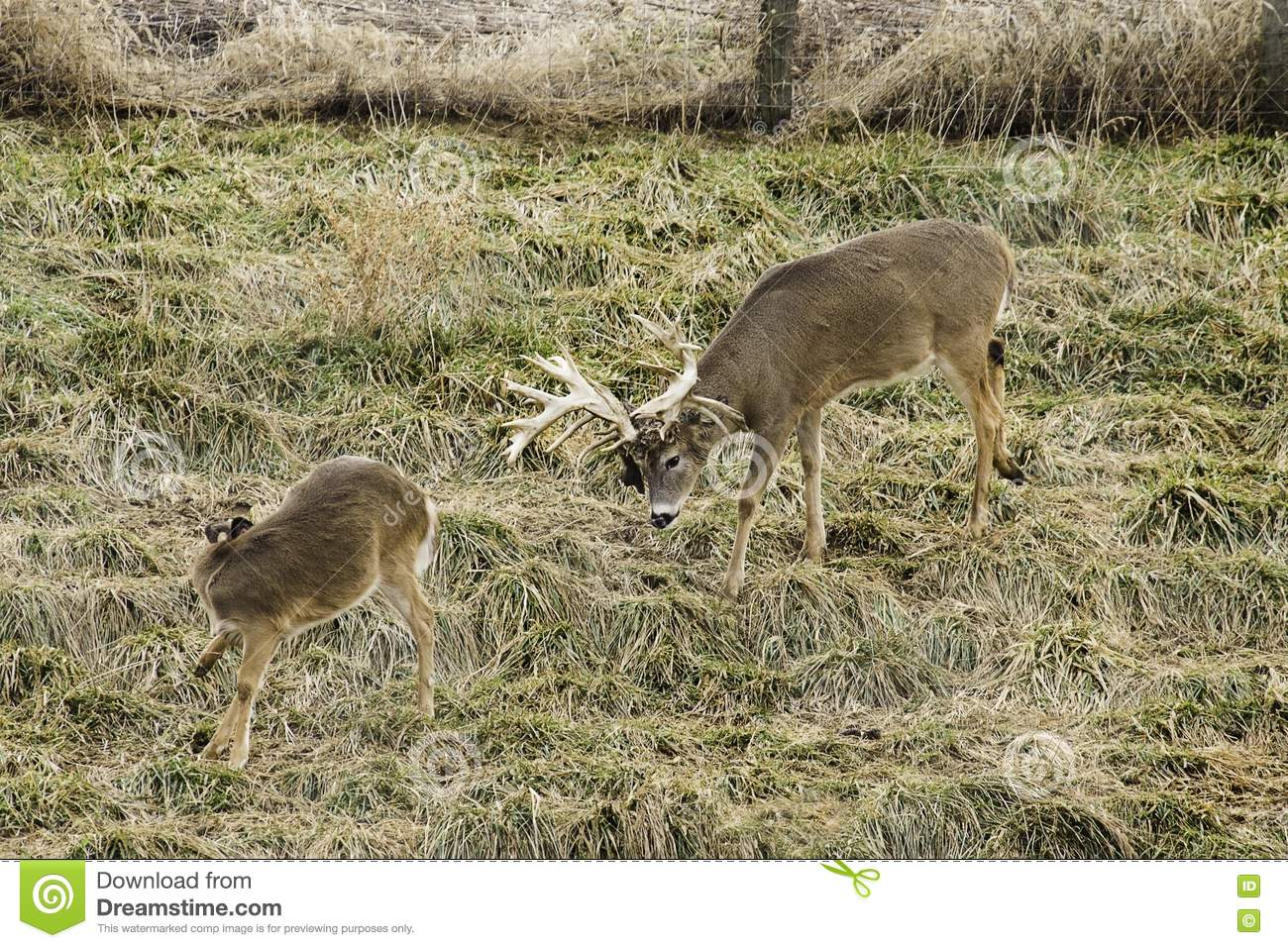 Buck And Doe Whitetail Deer Stock Photo
