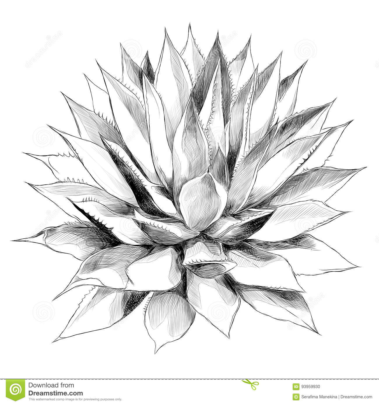 Agave Cartoons Illustrations Amp Vector Stock Images
