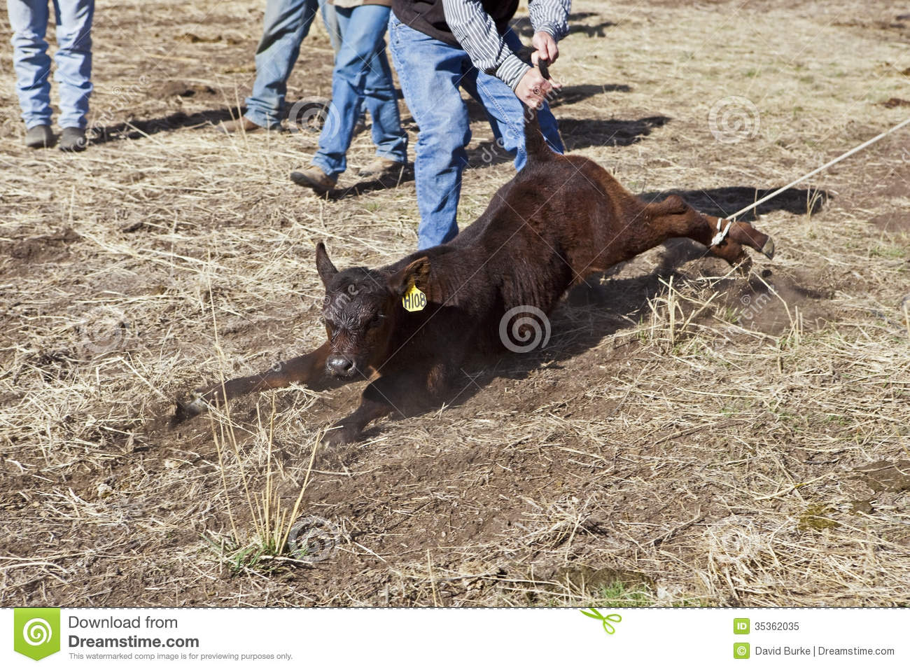 Calf Roped And Moved To Branding Area Editorial Image
