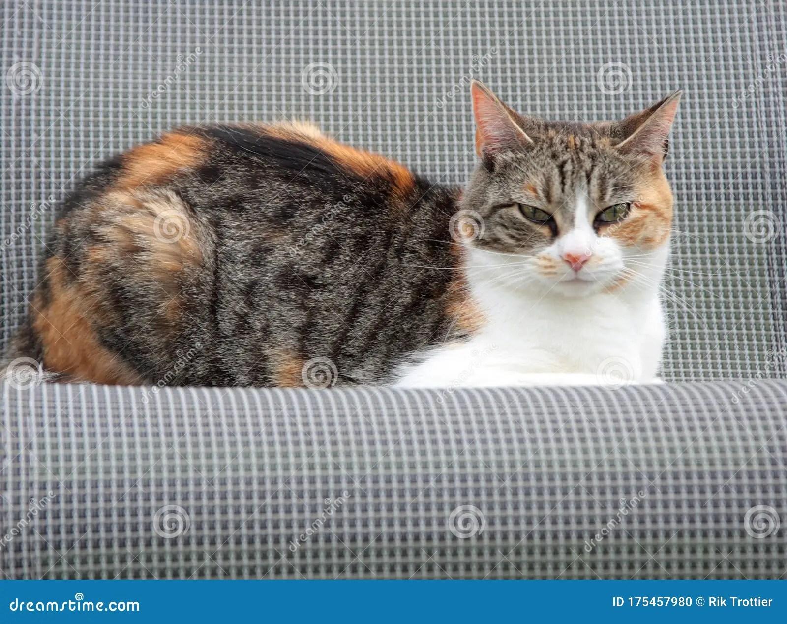 Calico Cat Stock Photo Image Of Whiskers Chromosome