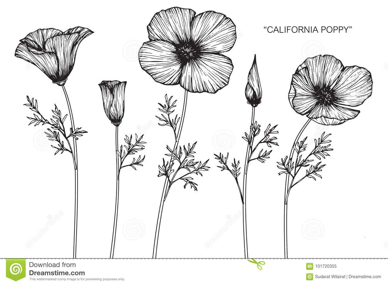 California Poppy Flowers Drawing And Sketch Stock