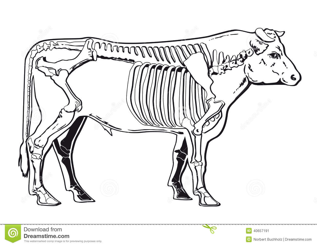 Cattle Skeleton Stock Vector Illustration Of Anatomy