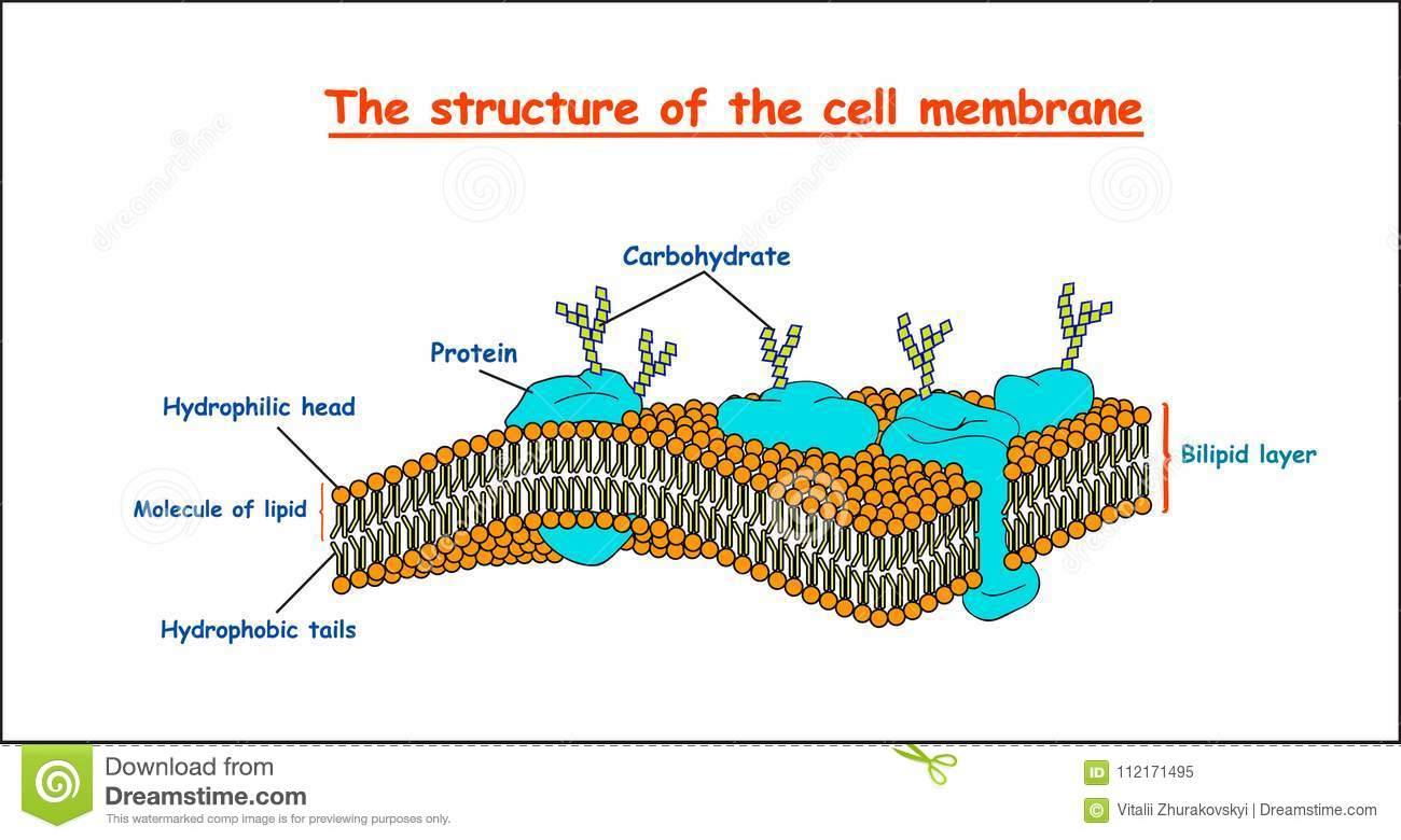 Cell Membrane Structure On White Background Isolated