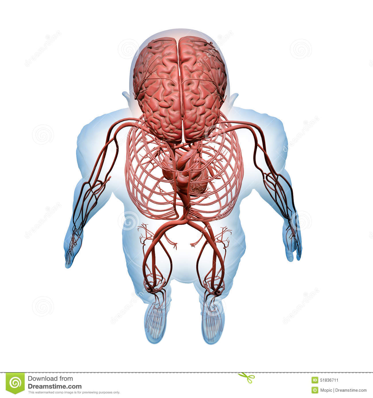 Central Nervous And Circulatory Systems Stock Illustration