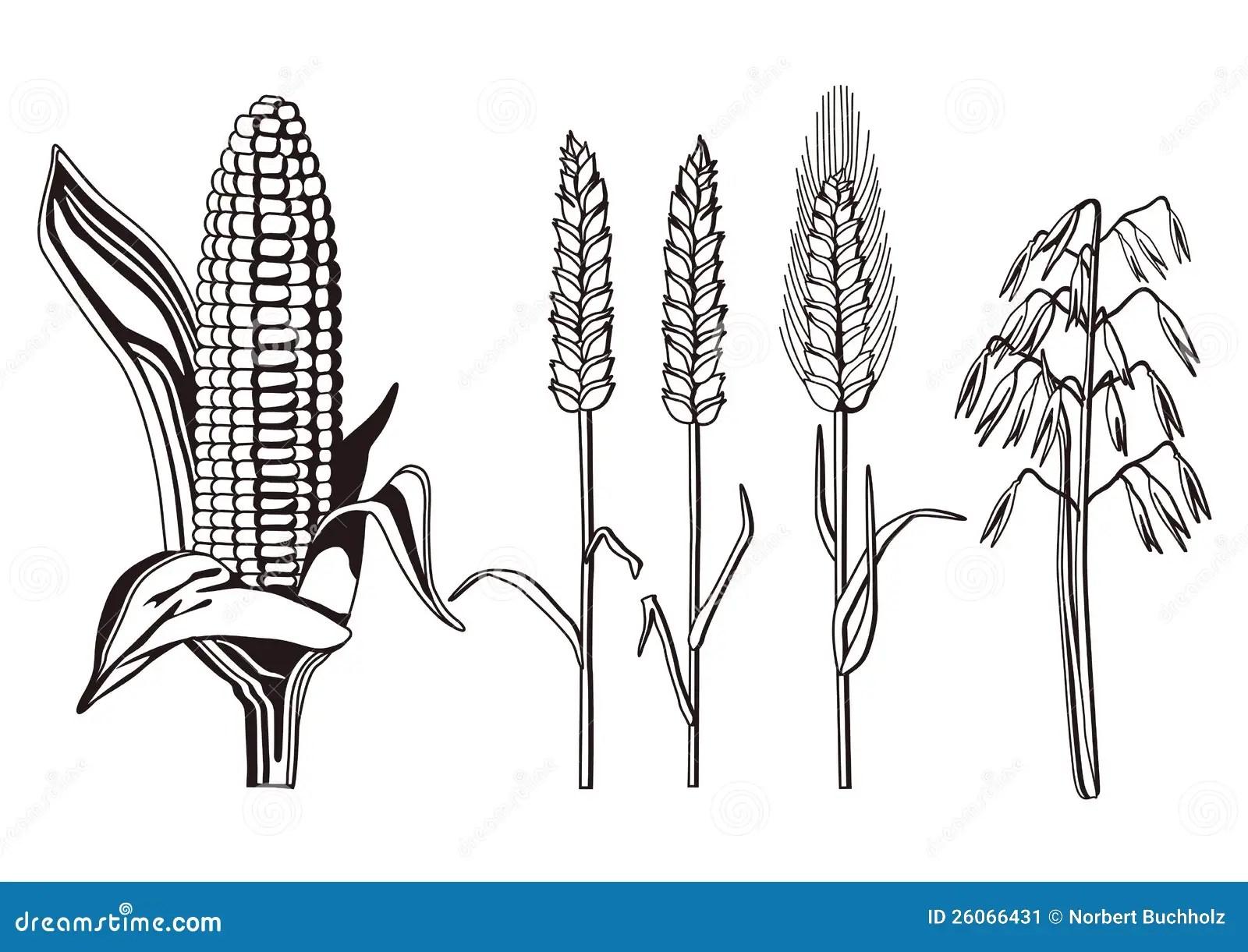Cereals Illustration Stock Vector Illustration Of