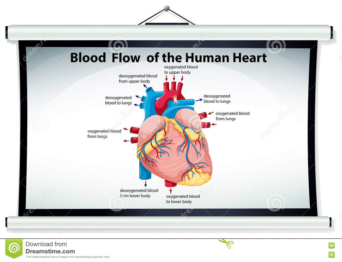 Chart Showing Blood Flow In Human Heart Stock Vector