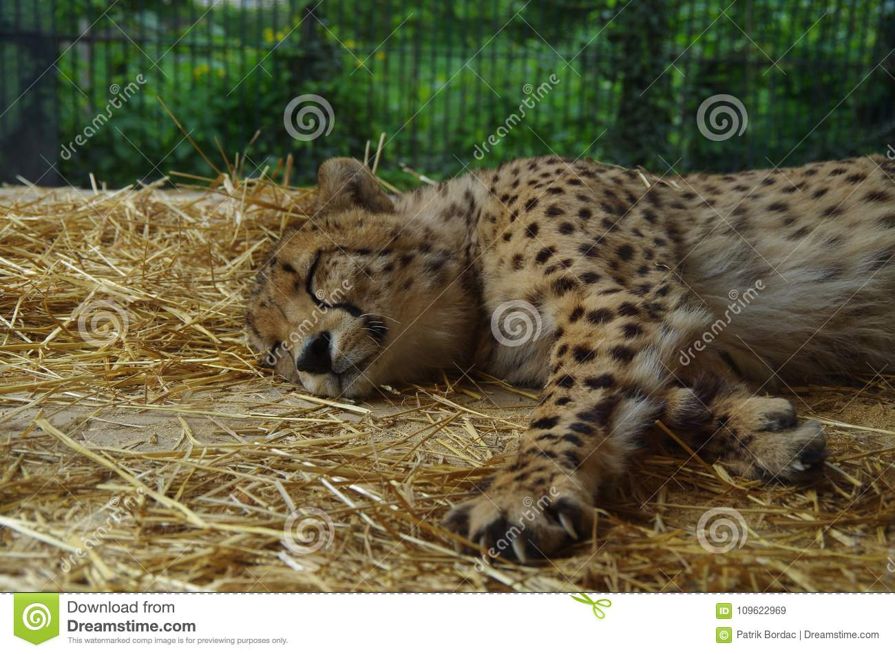 Cheetah Resting In A Zoo Stock Image Image Of Warm