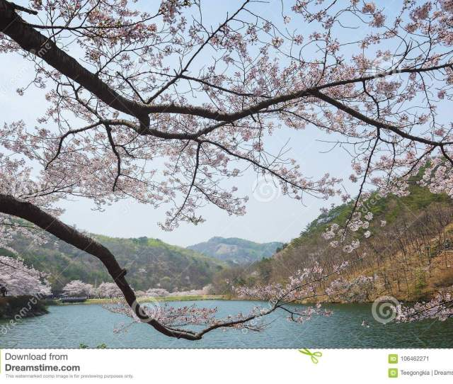 Cherry Blossom With Blue Sky As Background