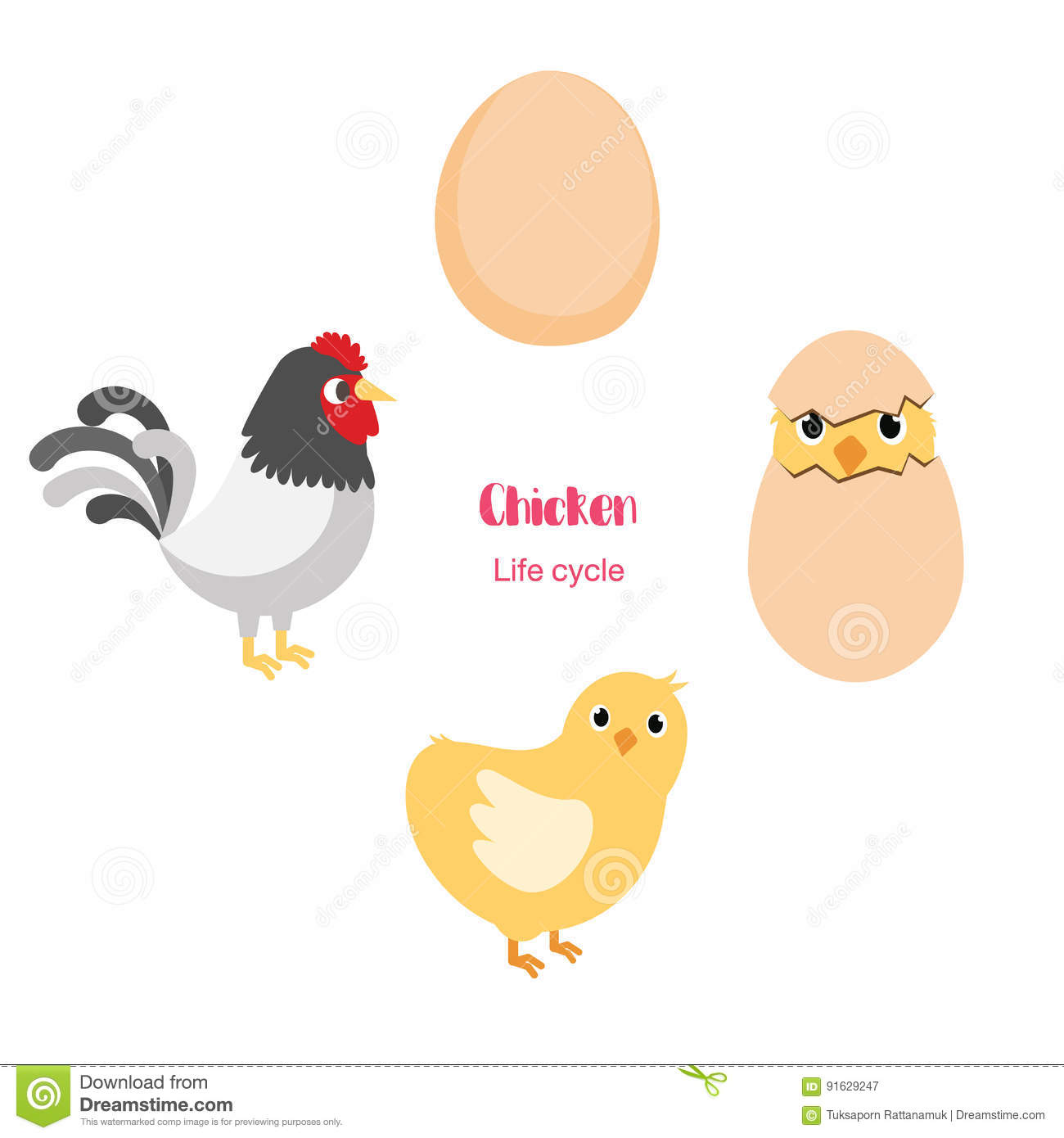 Chicken Egg Life Cycle Stock Vector Illustration Of