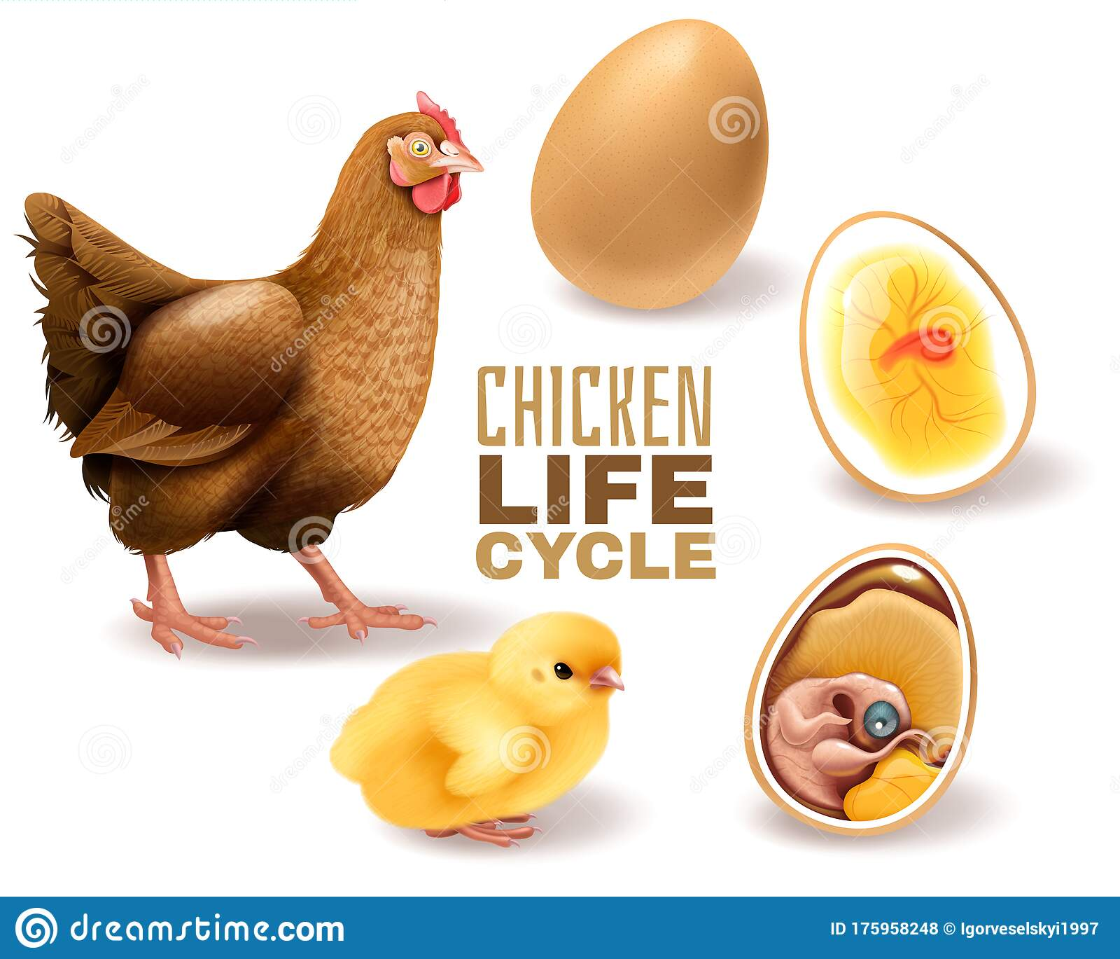Chicken Life Cycle Set Stock Vector Illustration Of