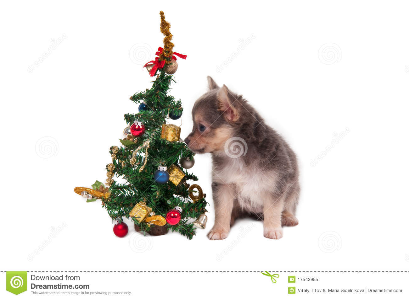 Chihuahua And Christmas Tree Royalty Free Stock Photo