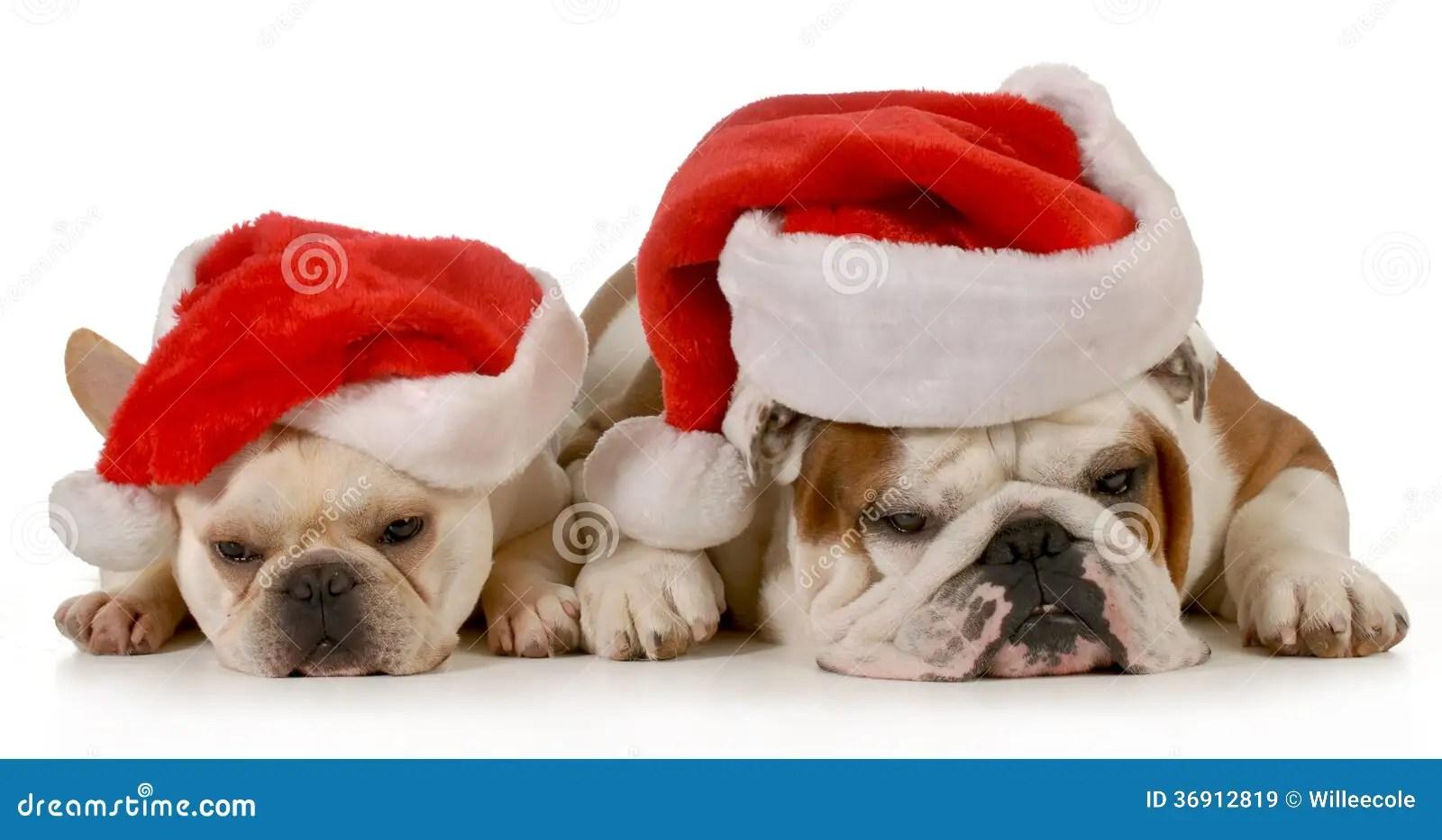 Christmas Dogs Stock Image Image Of Bulldog Domestic