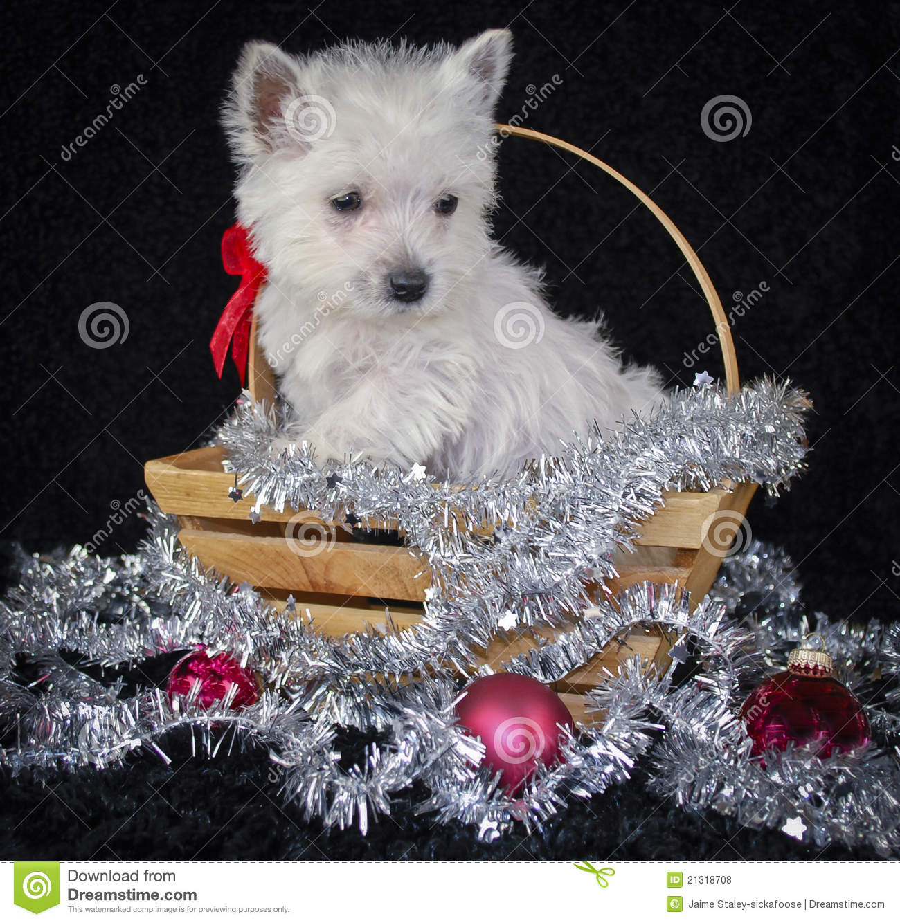 Christmas Westie Stock Photo Image Of Black Cute