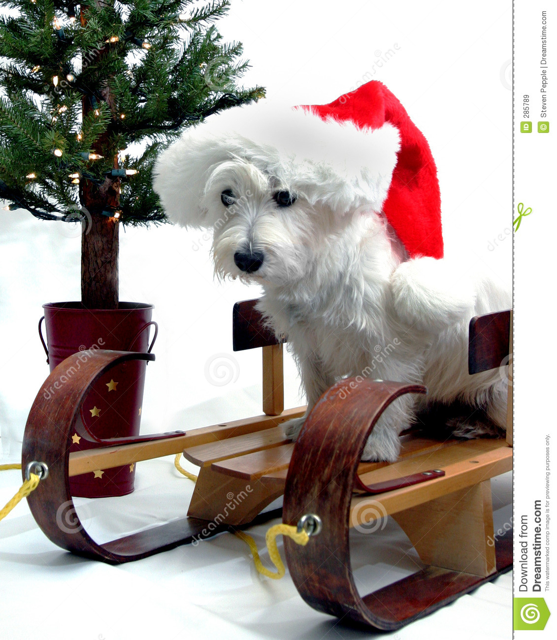 Christmas Westie Stock Image Image Of Animal Sleigh