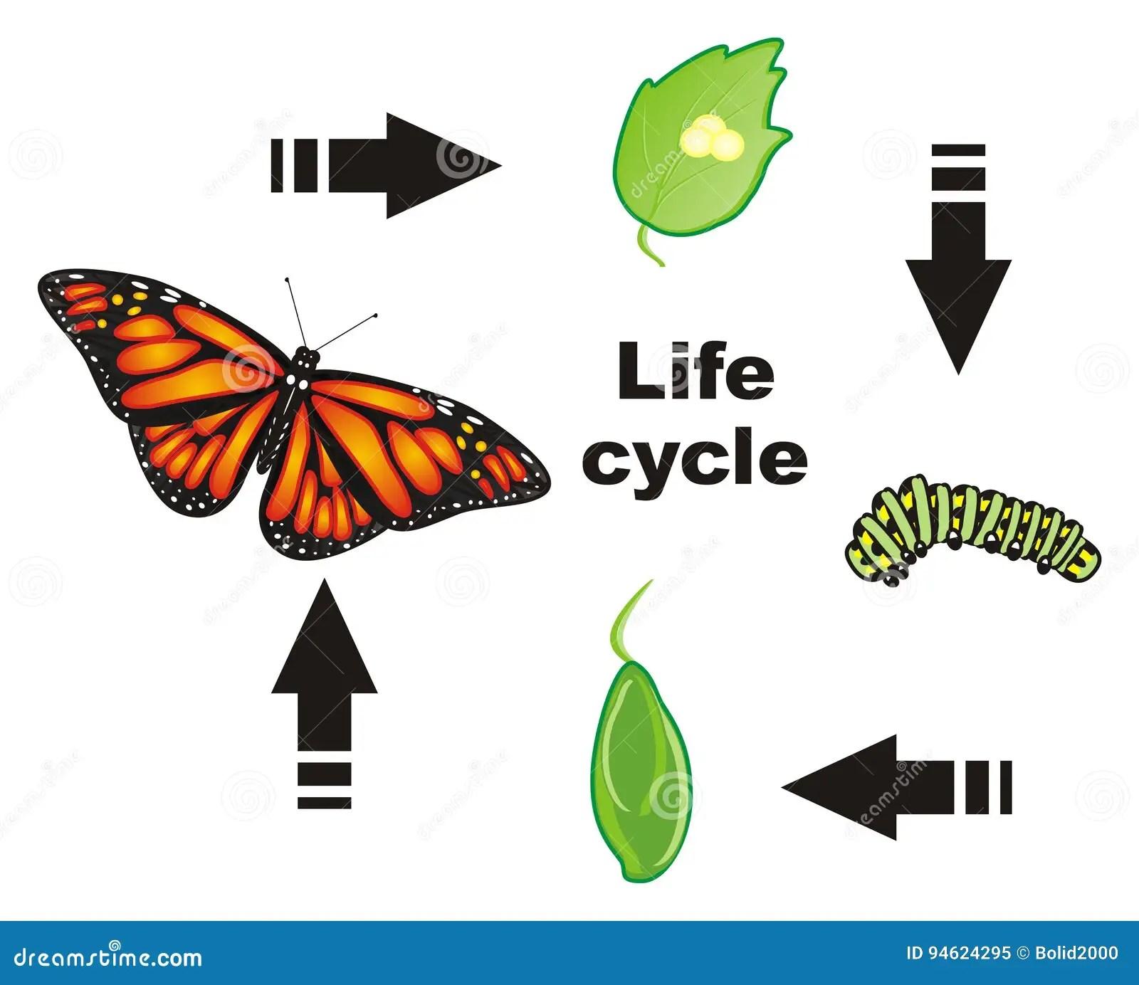 Ciclo De Vida De La Mariposa Stock De Ilustracion