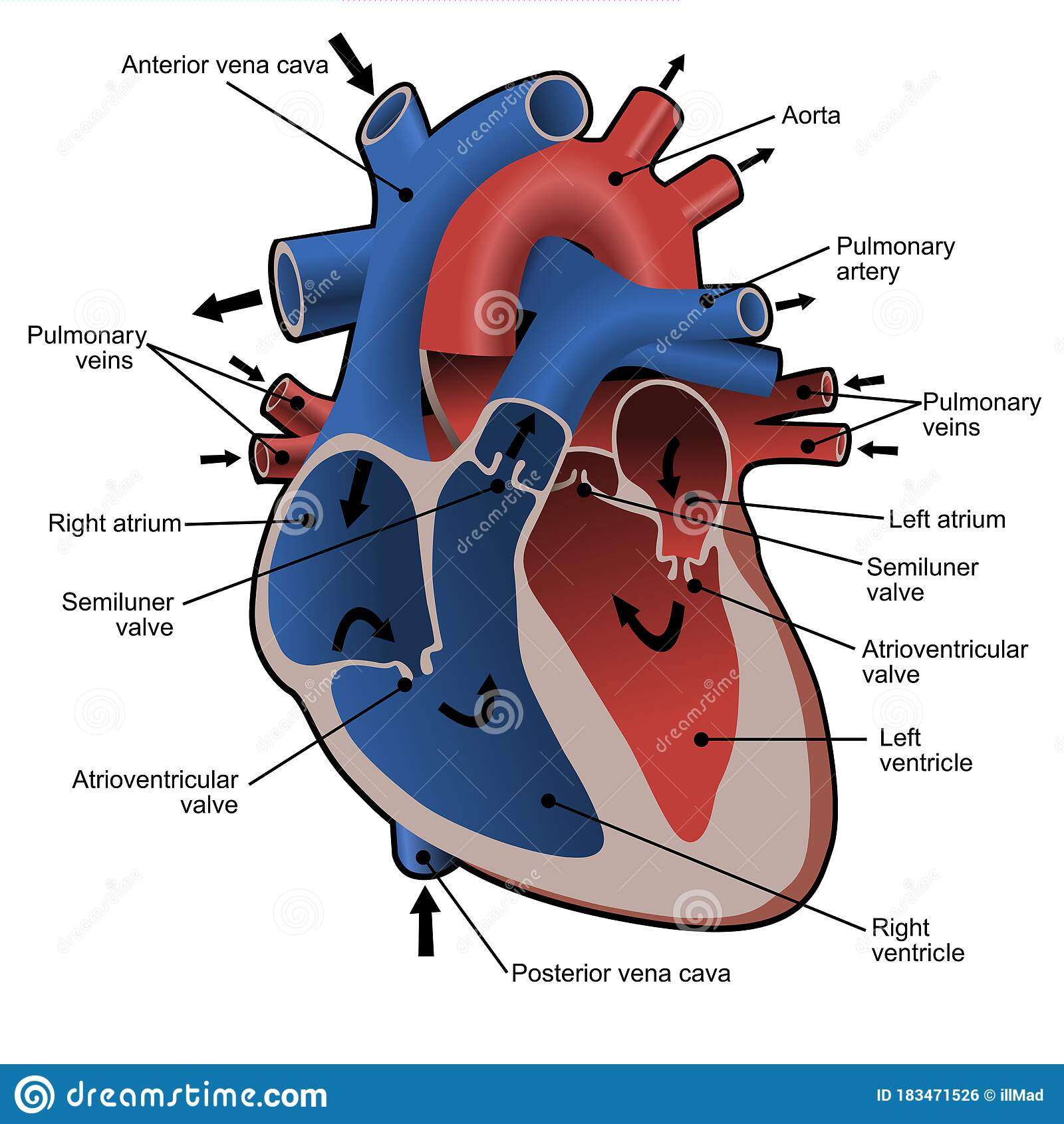 Circulation Of Blood Through The Heart Cross Sectional