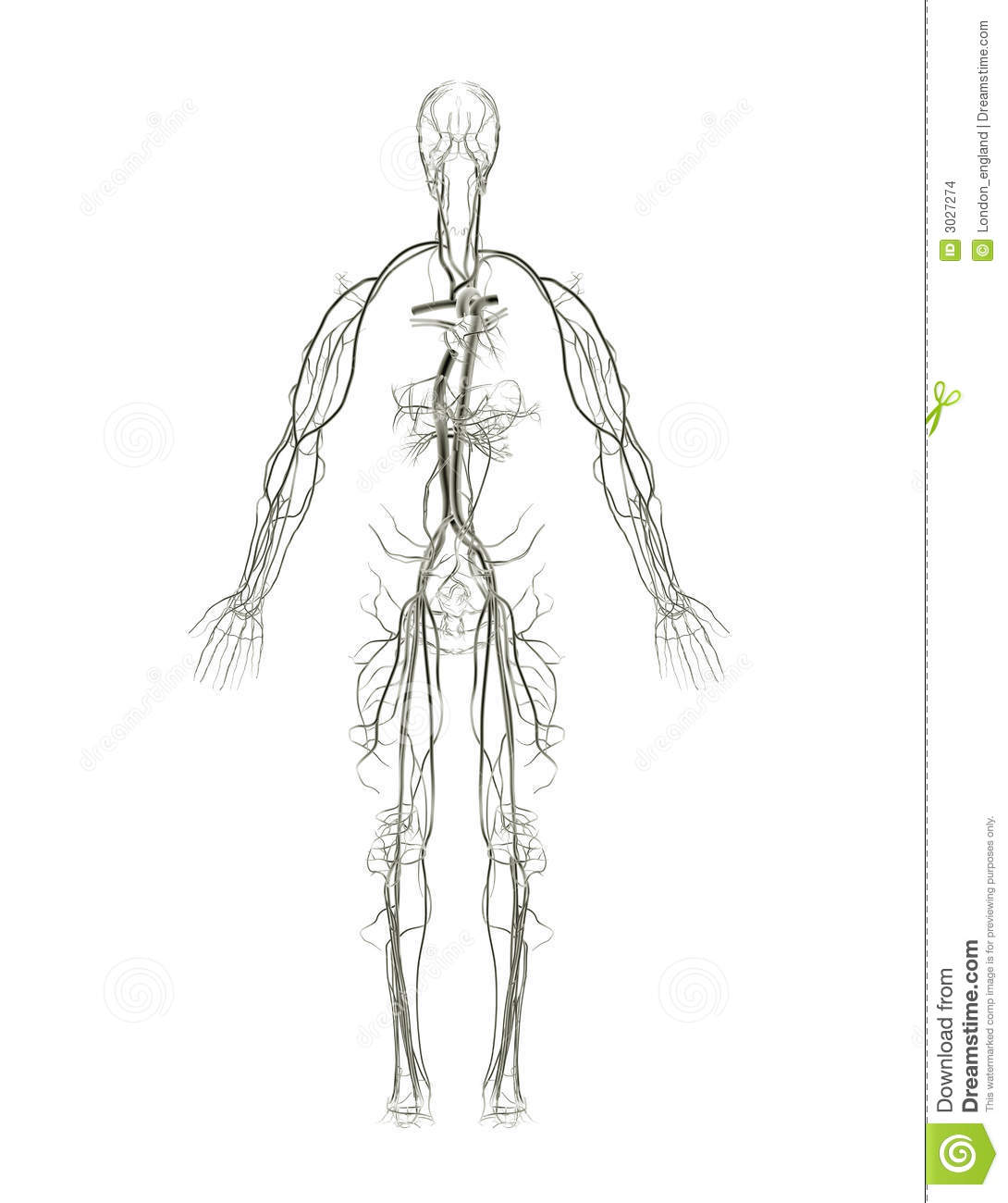 Circulatory System X Ray Stock Illustration Illustration