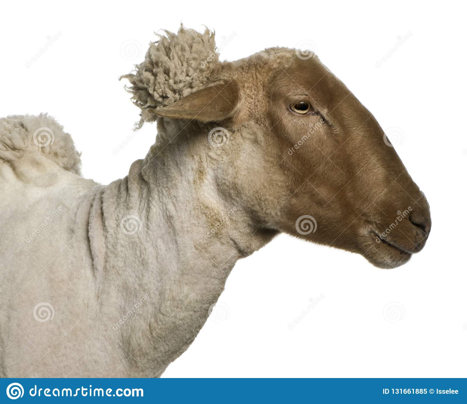 Close Up Side View Of Mourerou Sheep Wearing Bell In Front