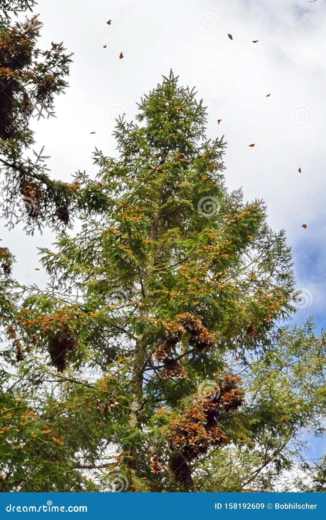 Cluster Of Monarch Butterflies On Tree Limbs At El Capulin