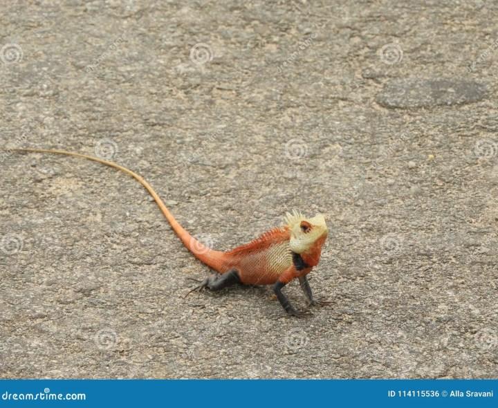 colorful asian lizard stock photo. image of india, latest