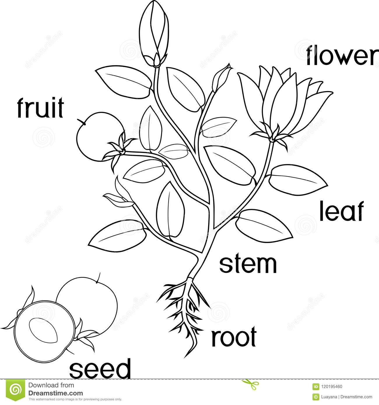 Worksheet Seed Parts Of Fruit