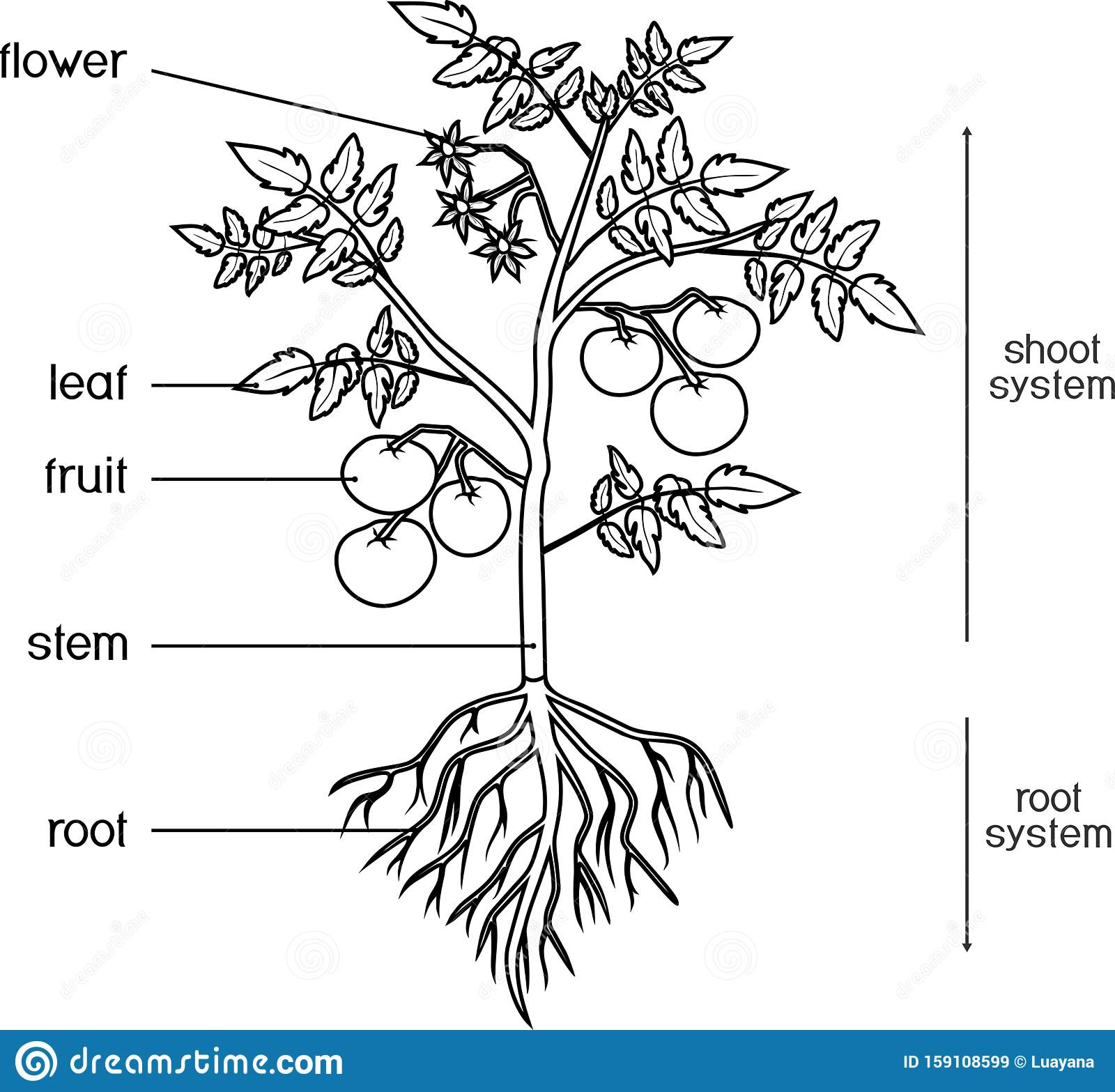 Parts Of Plant Morphology Of Tomato Plant With Leaves