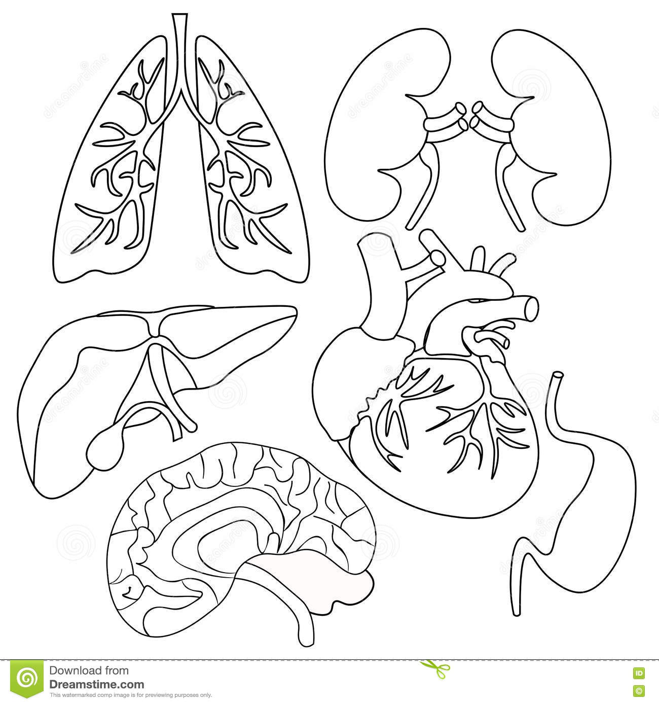 Coloring Set Of Organs Of The Human Heart Lungs Liver