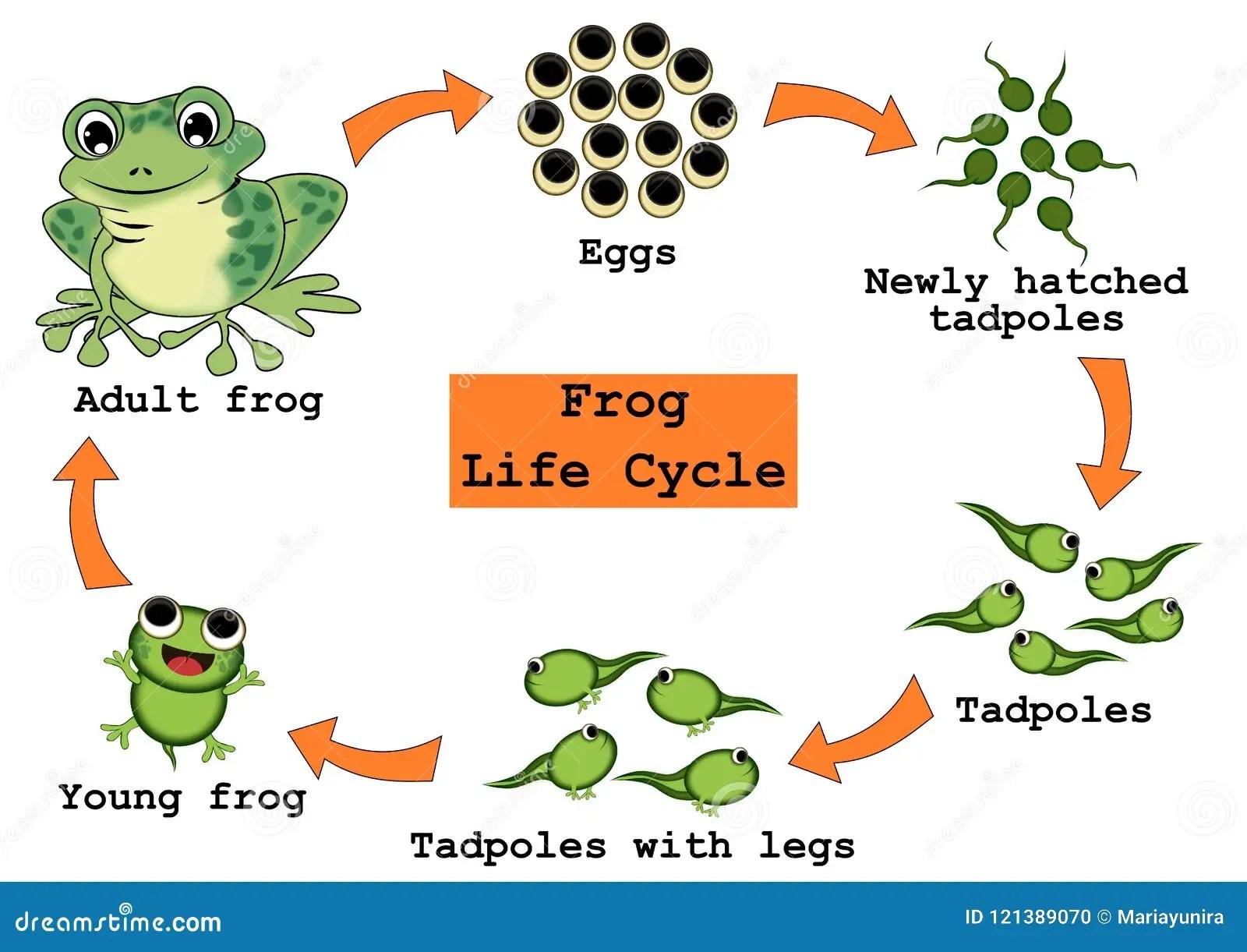Concepto Del Ciclo De Vida De La Rana Stock De Ilustracion