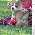 Corgi Smiles Stock Photo Image Of Corgis Corgi Welsh 102891344