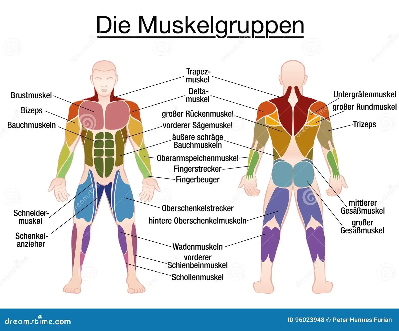 Corps Masculin Des Textes Allemands De Diagramme De Muscle