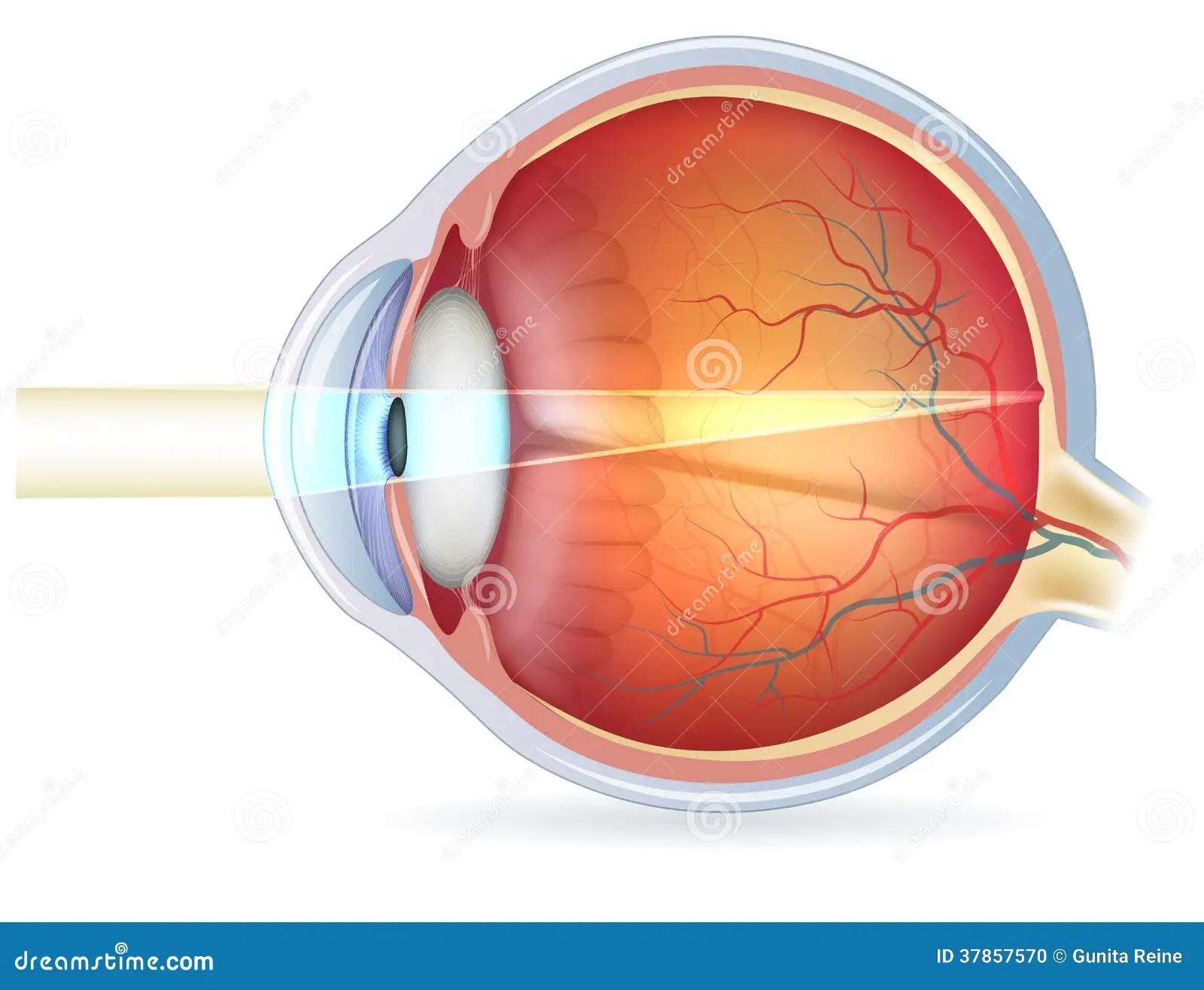 Corte Transversal Del Ojo Humano Vision Normal Foto De