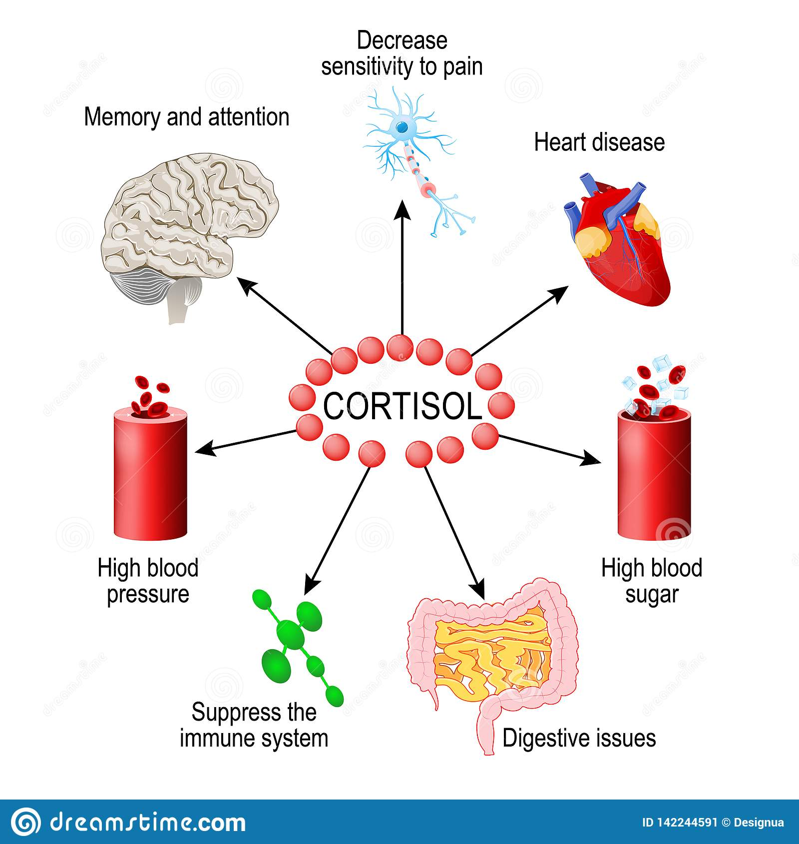 Cortisol Hormone Human Endocrine System Stock Vector