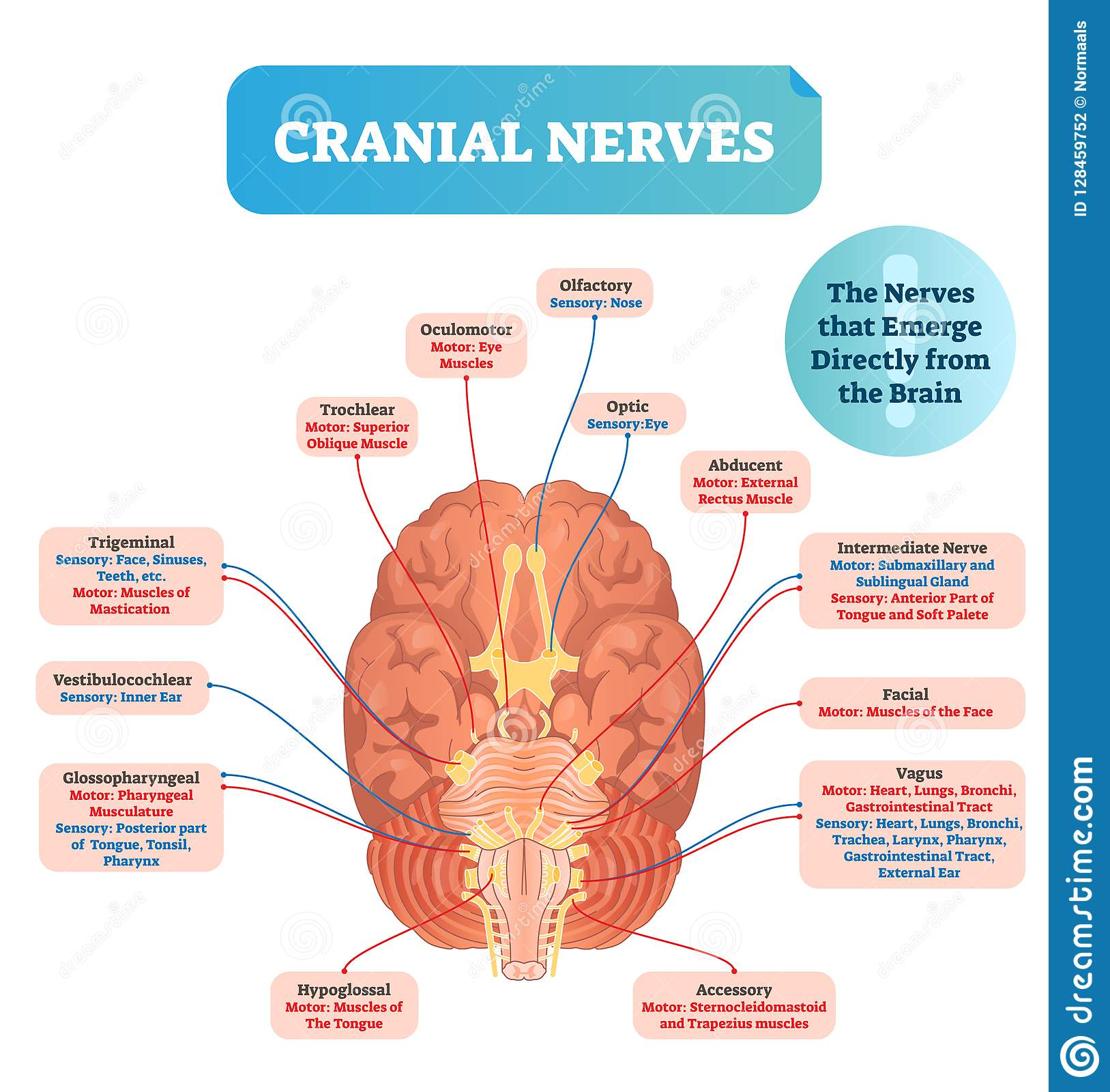 Cranial Nerves Vector Illustration Labeled Diagram With Brain Sections Stock Vector