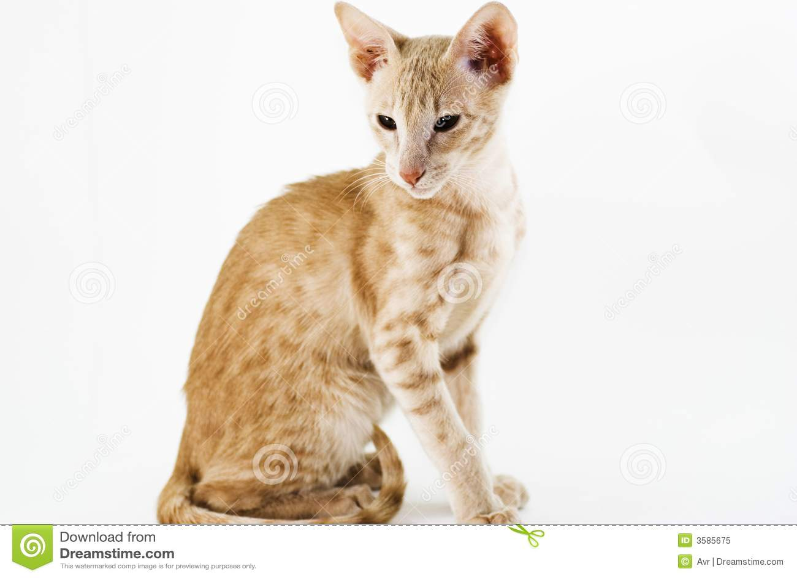 Cream Cat Royalty Free Stock Photo Image 3585675