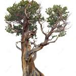 Cut Out Bristlecone Pine With Twisted Trunk Stock Image Image Of Pinus Summer 160379815