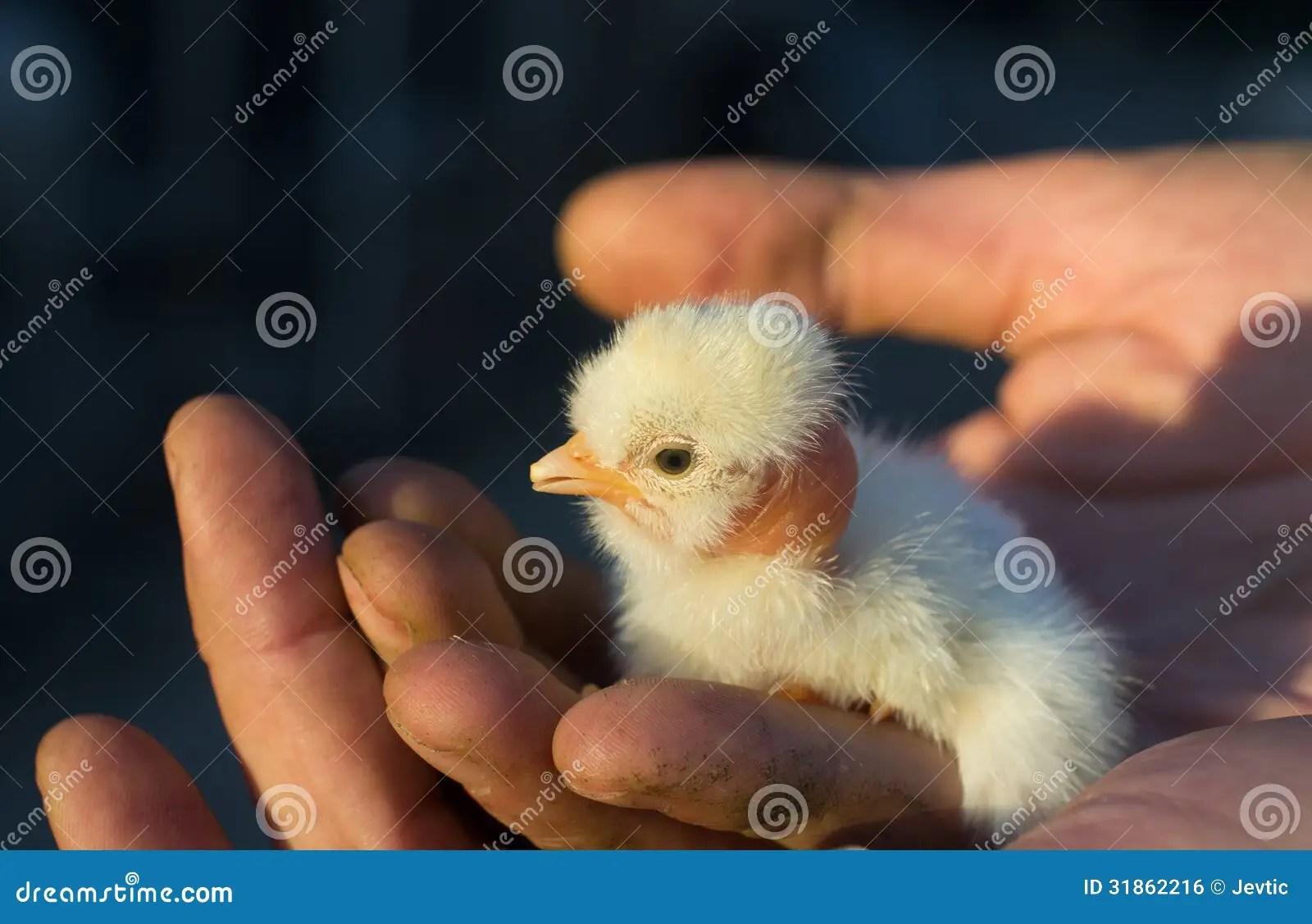 Cute Baby Turkey Royalty Free Stock Image Image 31862216