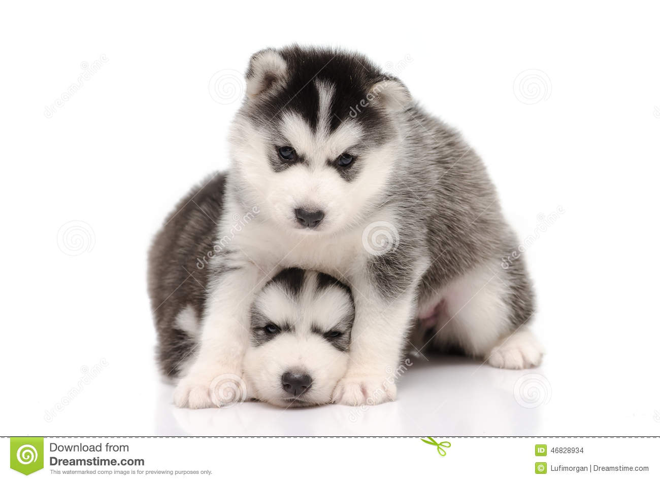 Cute Black And White Siberian Husky Puppy Sitting And