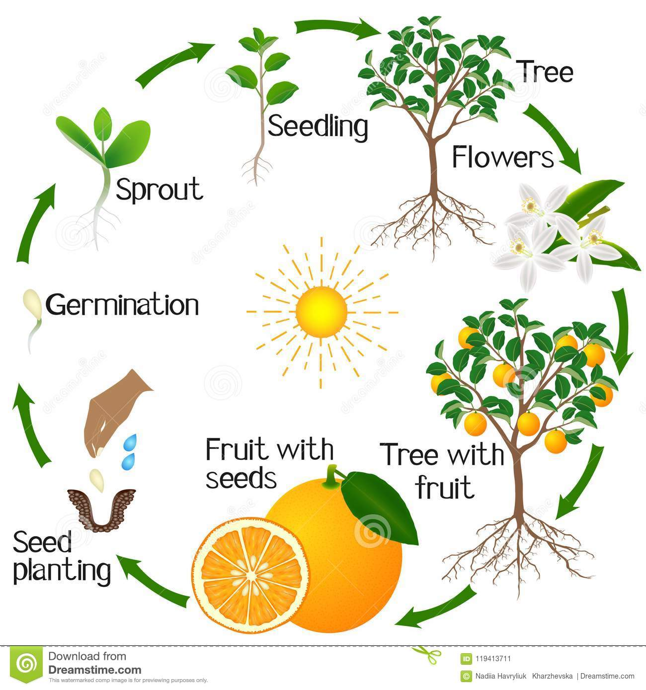 Cycle Of Growth Of An Orange Tree On A White Background