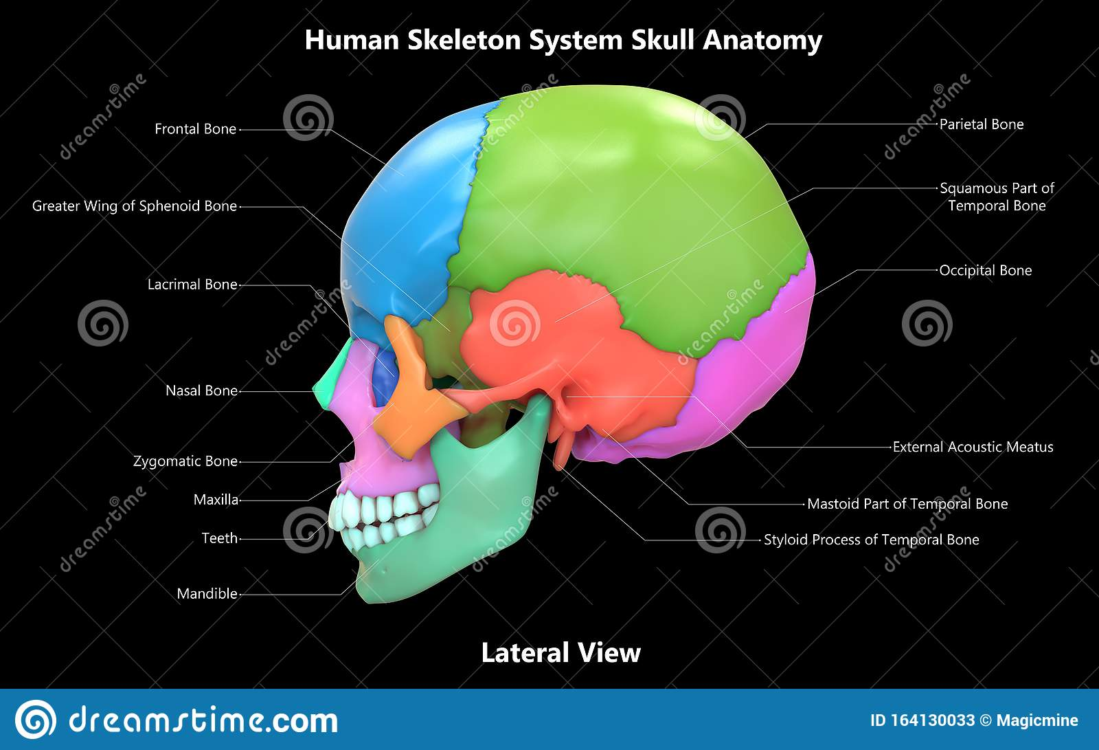 Skull A Part Of Human Skeleton System Anatomy With