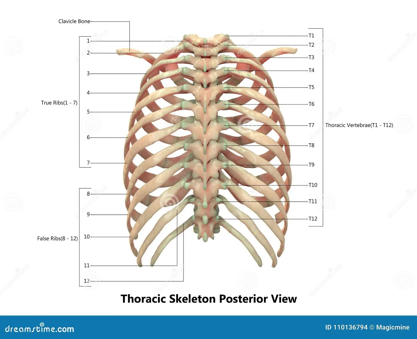 Human Body Skeleton System Thoracic Skeleton Posterior View Anatomy Stock Illustration