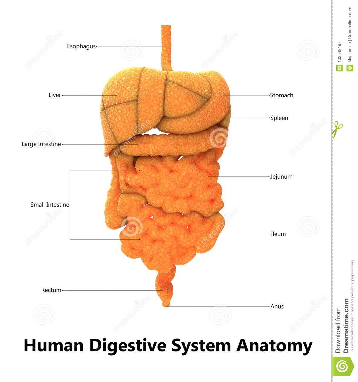 Human Digestive System Anatomy With Detailed Labels Stock