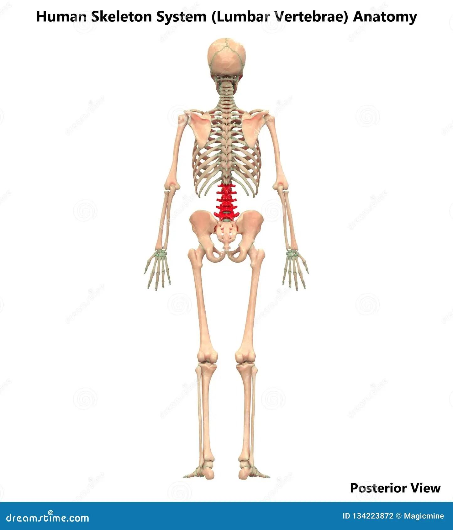 Human Skeleton System Vertebral Column Lumbar Vertebrae
