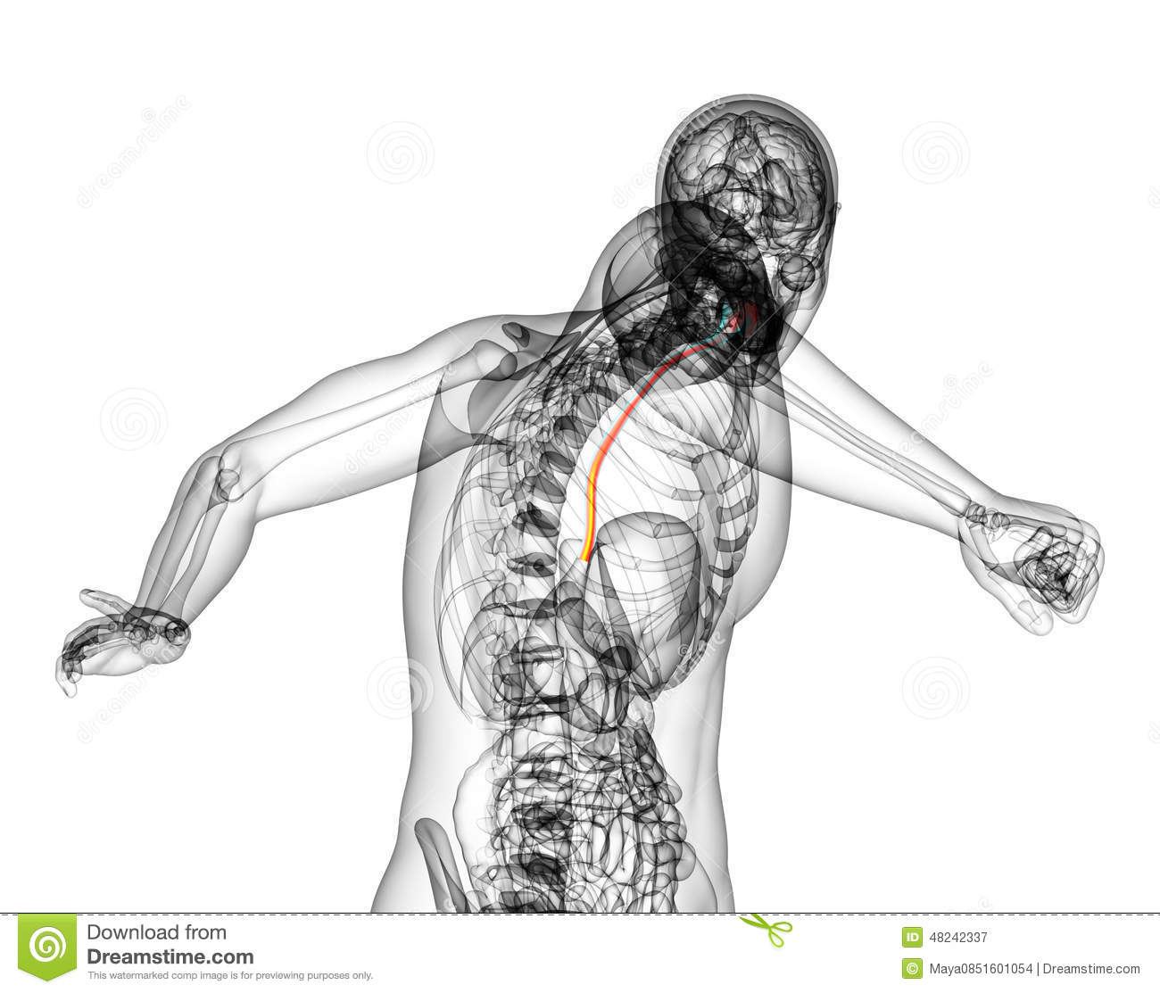 3d Rendered Illustration Of The Esophagus Stock