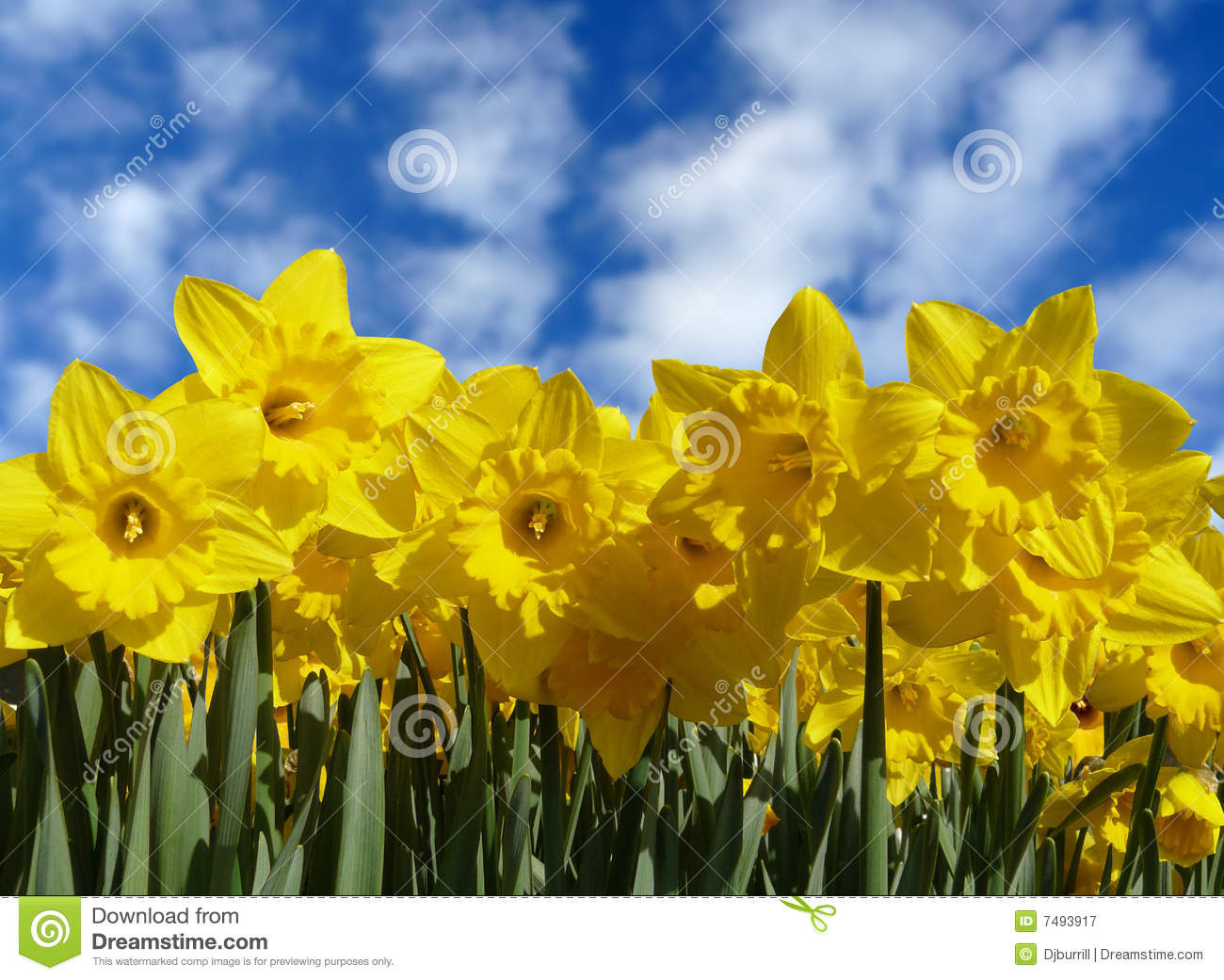 Daffodil flowers in bloom stock image  Image of narcissus   7493917 Download Daffodil flowers in bloom stock image  Image of narcissus   7493917