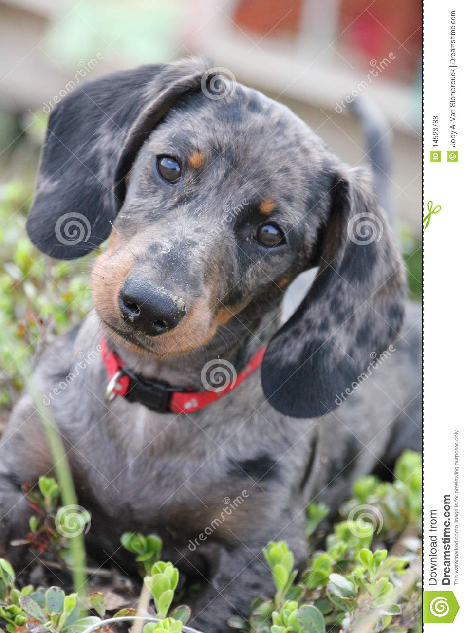 Dapple Dachshund Royalty Free Stock Photos Image 14523788