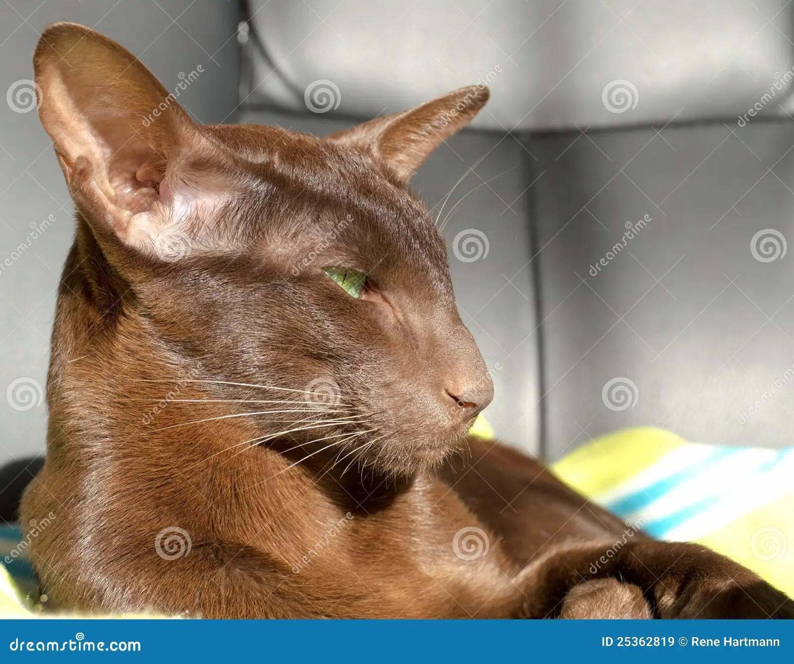 Dark Brown Oriental Cat With Green Eyes Royalty Free Stock