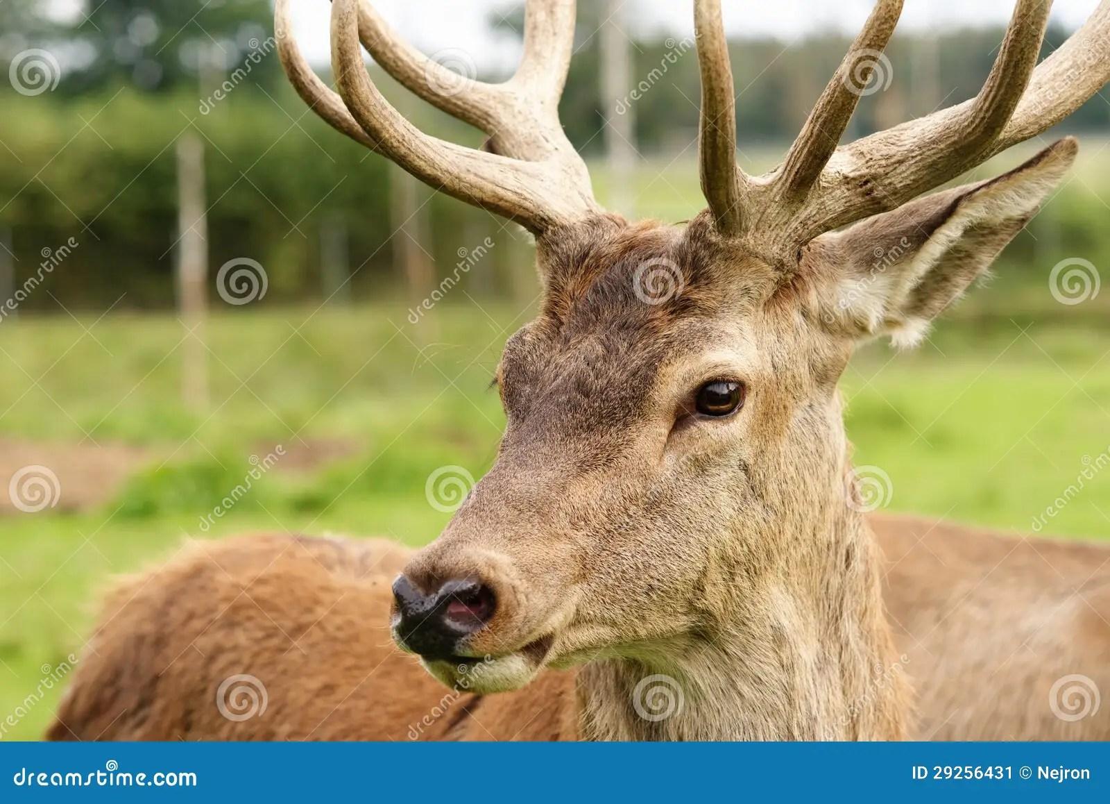 Deer In Natural Habitat Stock Image Image Of Careful