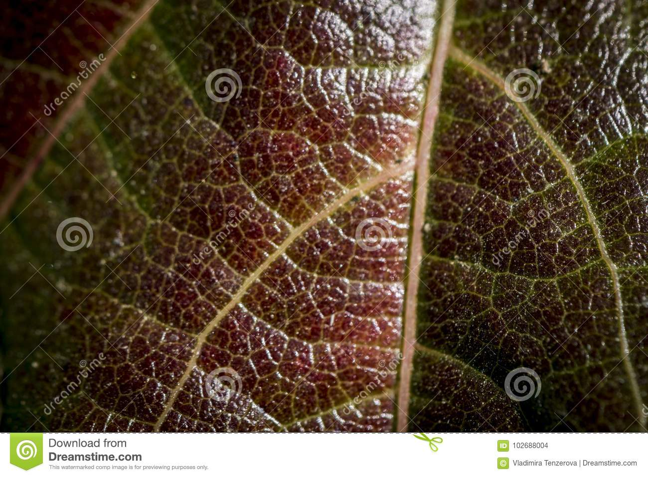 Detail Of Yellow Veins On Red Leaf Stock Photo