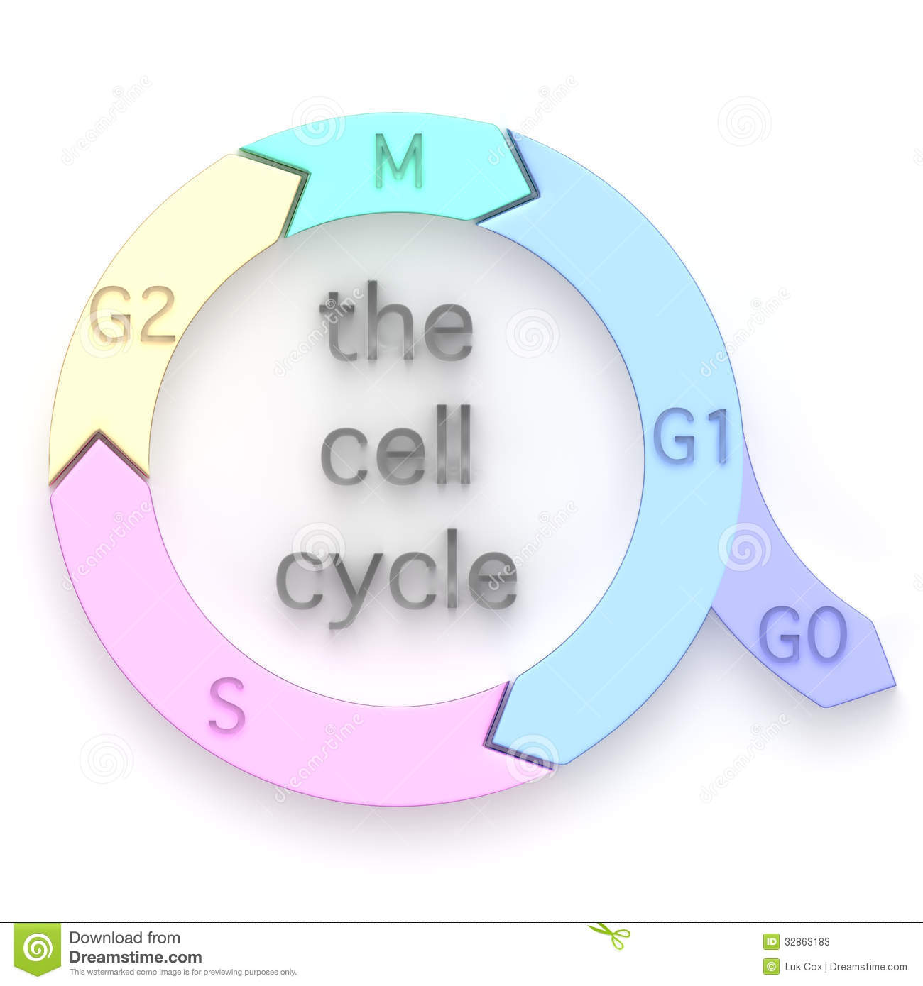 Diagram Of The Cell Cycle Stock Illustration Image Of Molecular